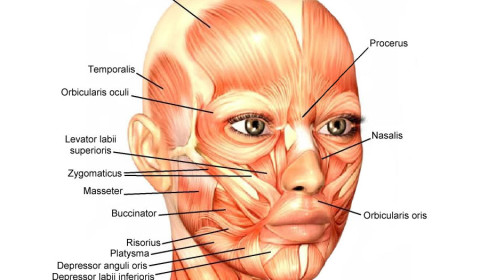 Face muscles - Desiredface - European Facial Workout to strenghten face muscles
